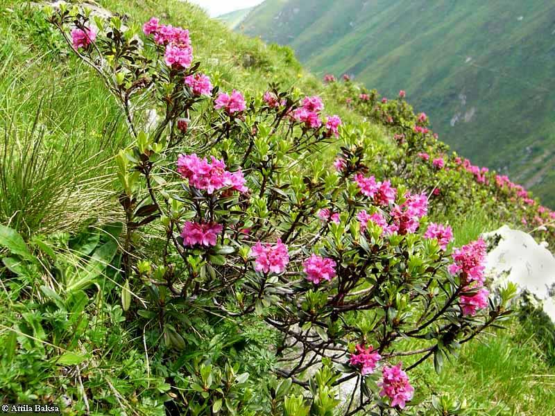 Rhododendron kotschyi_1_1_logo